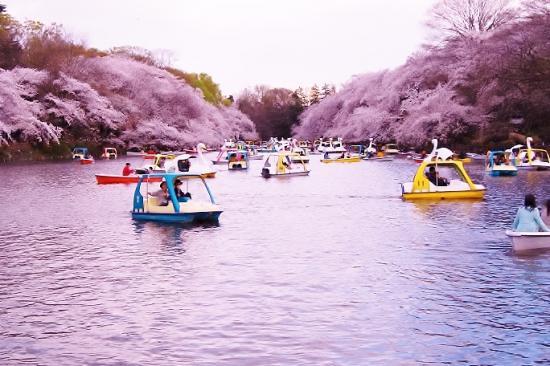 花見の時季には池の水が戻り、たくさんのボートが浮かぶにぎわいとなった
