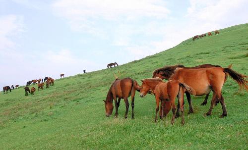 放牧地の草をはむ御崎馬