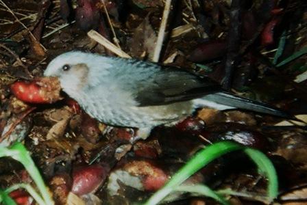 ツチアケビの果実にやってきたヒヨドリ=鳥の写真はいずれも末次健司さん提供
