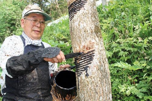 漆は、ウルシの木の樹皮に傷を付けて採取される