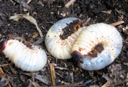 カブトムシの幼虫は同じ場所から大量に見つかることがしばしばだ