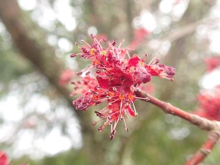 ハナノキの花(雄花)。ハナノキは雌雄異株なので雄木と雌木がある
