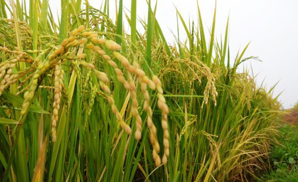 収穫期を迎えた米