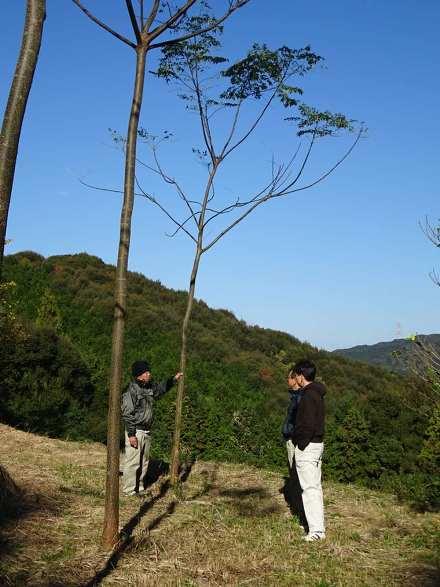 耕作放棄地に植えたセンダン。苗木からまる4年目に入るころで、樹高は約8メートル、胸高直径は約12センチに育っている=2016年12月11日、熊本県苓北町