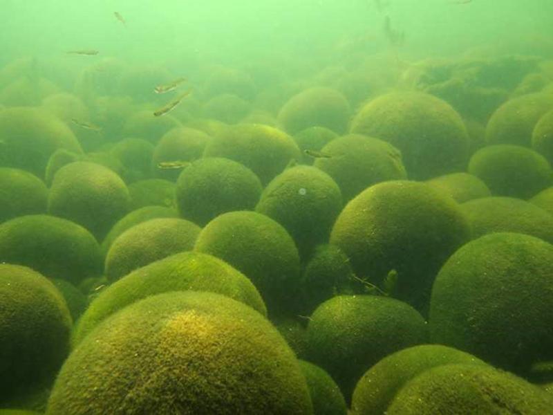 写真・図版 : 阿寒湖の湖底に群生する球状マリモ