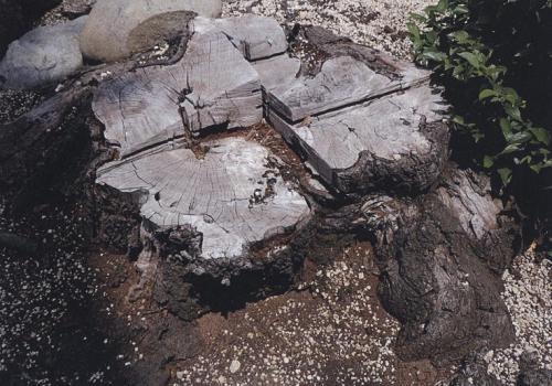 国内で初めてクビアカの被害が見つかったサクラの木。早期に伐倒処理され、切り株だけが残っていた