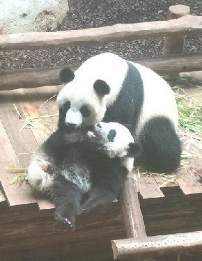 1歳になるユワン・モン(円夢)=下=と母親のホワン・ホワン(歓歓)=2018年7月29日、フランス中部ボーバル動物園。吉岡桂子撮影パンダの親子